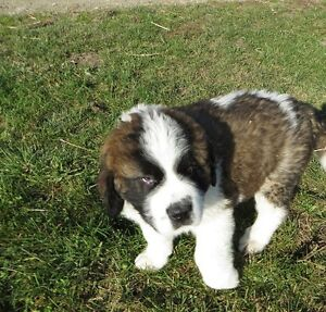 Adorable St Bernard Puppies