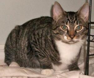 "Adult Female Cat - Domestic Short Hair-Tabby: ""Mitouche"""