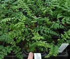 Plant Ferns (Plants)
