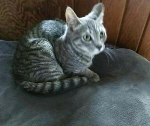 """Baby Male Cat - Domestic Short Hair-Tabby - Grey: """"Coral"""""""