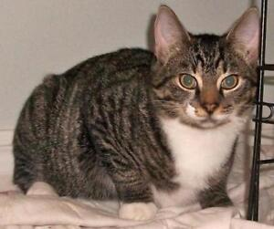 """Adult Female Cat - Domestic Short Hair-Tabby: """"Mitouche"""""""