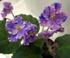 African Violet (Russian Variety) Plant Peat Houseplants