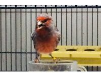 Singing Canary for sale