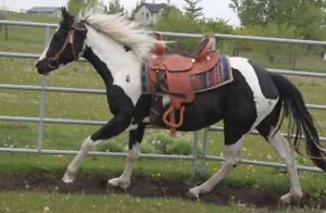 Horse for sale- PROJECT HORSE 5 yr old Registered American Paint
