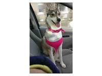 **RESERVED** Female Siberian husky/collie mix 2 year old dog