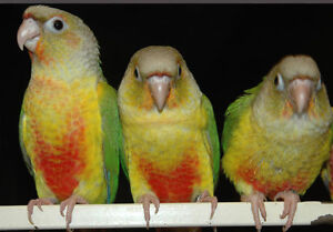 ❤★❤ Adorable,Tame CONURE Babies With CAGE❤★❤ Stratford Kitchener Area image 10
