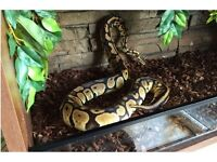 Ball Python, (Pastel) Adult female inc Tank