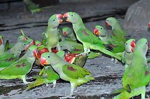 Looking for baby male Alexandre parrots