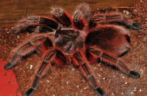 """Grammostola rosea (Chilean Rose Hair) Red Color Form .75""""-1"""" Sling"""
