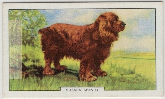 Sussex Spaniel Dog Canine Pet 1930s  Ad Trade Card