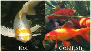 Goldfish Koi Pellets Fish Food Tank Pond Aquarium
