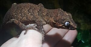 Reserved : Young Male Gargoyle Gecko