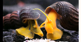 2 LARGE YELLOW RABBIT SNAILS