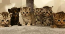 ALL RESERVED Beautiful Full Pedigree British Shorthair Kitten