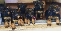 German Shepherd PUPPIES! 3 LEFT!