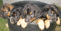 Gold Retrievers-G.Shepherds Tan & Black, 1 pup left, maybe
