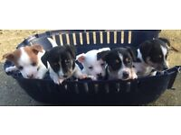 5 beautiful Jack Russell puppys for sale