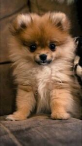 Wanted: WANTED POMERAINIAN PUPPY