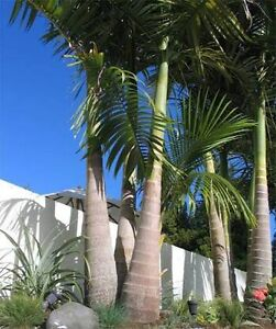 Bangalow Palms Needed! O'Halloran Hill Marion Area Preview