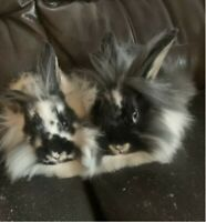 Two adorable lion head bunnies