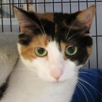 "Adult Female Cat - Calico: ""Patches"""