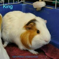 """Young Male Small & Furry - Guinea Pig: """"King"""""""