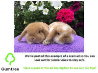 Mini lop bunnies -- Read the ad before replying!!!