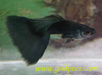 Moscow Black Guppies