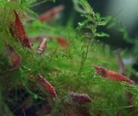 Selling beautiful red cherry shrimp
