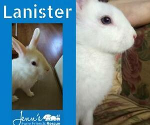 """Young Male Rabbit - Bunny Rabbit: """"Lanister"""""""