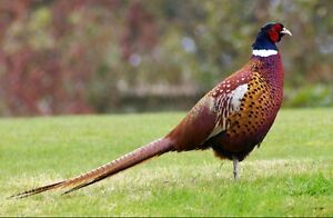 Looking for ring neck pheasants