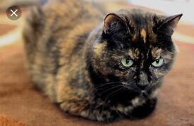 multicoloured British shorthair cross needs a new home