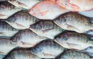 somebody has live tilapia for sale