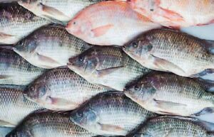 somebody has live tilapia for sale? need probably more than 10