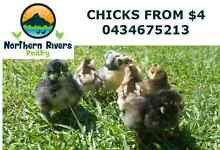 CHICKS FROM $4 /PULLETS/COOPS/FEEDERS & MORE Wollongbar Ballina Area Preview