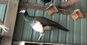 Blue Peafowl hen for sale