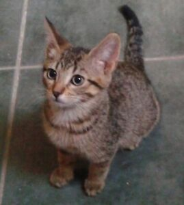 Cliff - rescued brown tabby male kitten for adoption