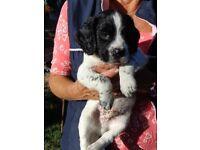 English Springer Spaniel puppies. Ringwood. BH24. Hampshire / Dorset