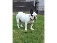 French Bulldog (Parker)