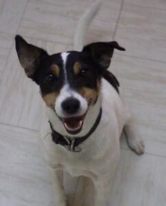 """Adult Male Dog - Jack Russell Terrier: """"Rufus"""""""