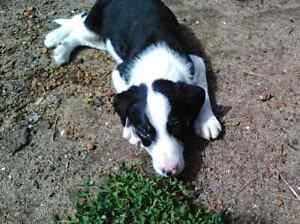 Border Collie X puppies Scarborough Stirling Area Preview
