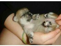 Full Chihuahua KC Reg male puppies