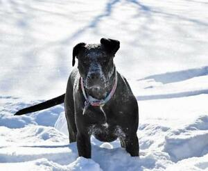 "Adult Female Dog - German Shepherd Dog-Boxer: ""Feather"""