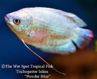 "(3) 2"" MALE Powder Blue Dwarf Gourami Trichogaster lalius fresh tropical live"
