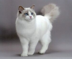Looking for bi color ragdoll kitty