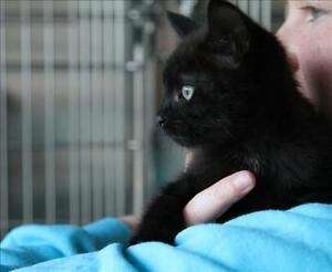"""Baby Male Cat - Domestic Short Hair: """"Seely"""""""