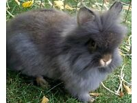 2 gorgeous lion head grey and black bunnies and cage, food, ect collection new mill