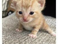 Ginger kittens looking for New loving homes