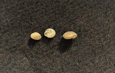 Stenotrema: monodon Rackett each 7 mm and monodon leai Pilsbry 9 mm Texas USA