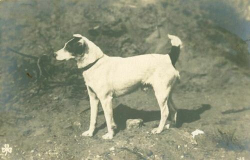 Rare Sepia Dog Postcard Smooth Fox or Jack Russell Terrier Vienna Austria c1910
